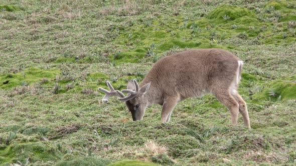 White-tailed Deer Buck Male Adult Eating Grazing in Paramo Andes Mountains