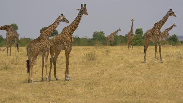 Thumbnail for Giraffes standing in the wild
