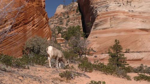 Desert Bighorn Sheep Immature Lone Eating Feeding in Spring Grazing Barren Ground Food