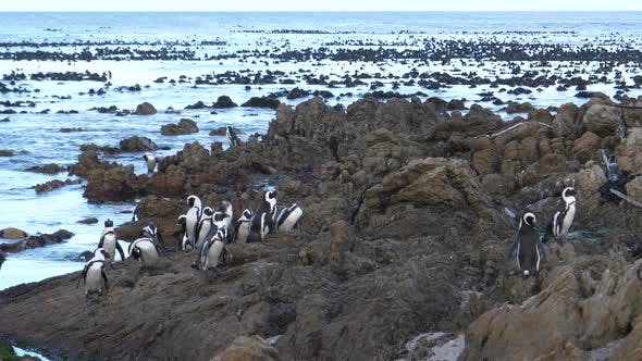 Thumbnail for Penguins on the rocks around Betty's Bay