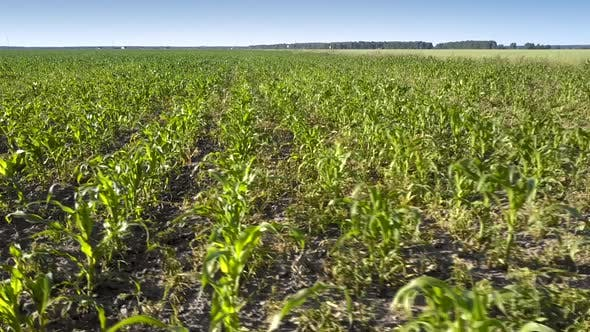 Thumbnail for Bright Green Corn Leaves Grow on Boundless Field Aerial View