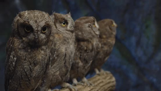 Tiny Baby Owls Are Sitting on a Branch, a Man Is Putting One of Them Back,