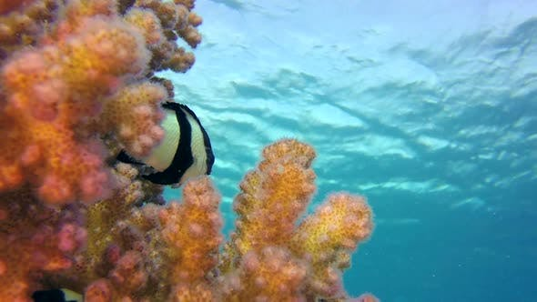 Thumbnail for Colorful Tropical Coral Reef with Blue Water Background