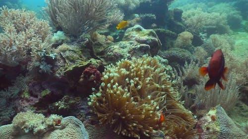 Clownfish Anemonefish Actinia