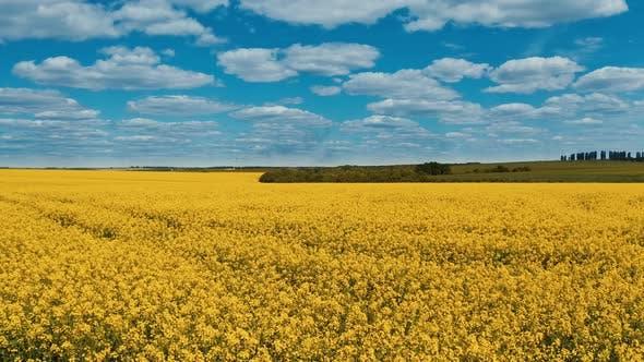 Field blossom yellow in the farmland