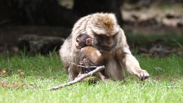 Thumbnail for Barbary ape with his young at Cèdre Gouraud Forest