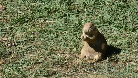 Beautiful Prairie Dog Eating