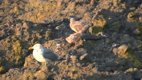 Thumbnail for Seagull Chicks