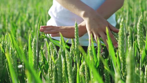 Thumbnail for Hands of a Kid are Touching Spikelets of Wheat in the Field on a Summer Day