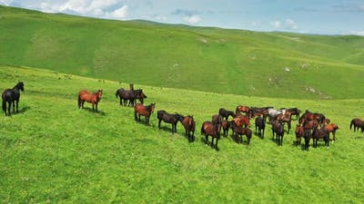 Herd of Horses Grazing on Slope Meadow
