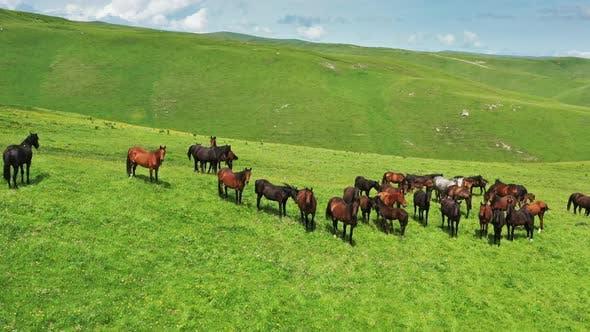 Herde von Pferden weiden auf Hangwiese