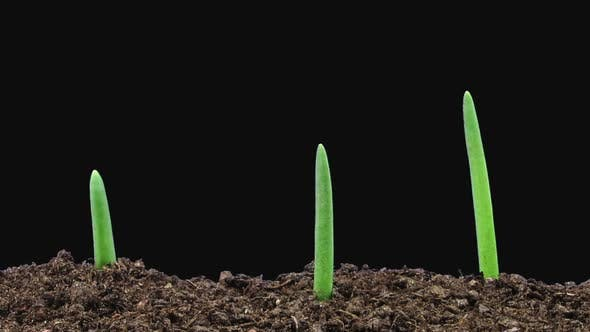 Time-lapse of growing onion sprouts