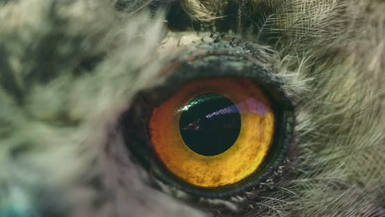 Thumbnail for [Horned Owl Close up slow blink eye]Horned Owl Close up slow blink eye