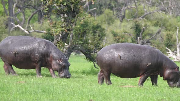 Thumbnail for Two Hippos grazing on a grass field