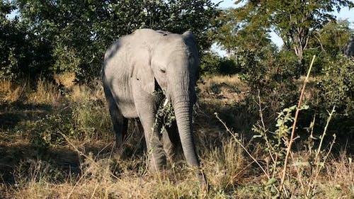 Wild African Elephant baby in Botswana, Africa