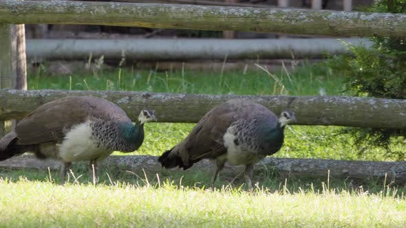 Two Female Peacocks Feed Off the Ground on Grass in a Rural Area - Closeup
