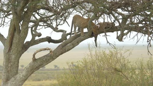 Leopard eating in a tree