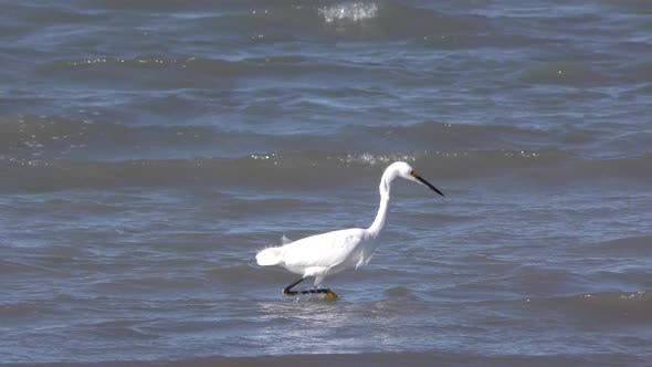 Thumbnail for Snowy Egret Adult Lone Foraging Looking For Food in Mexico