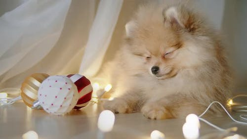 Spitz Puppy Falling Asleep While Lying on the Floor at Christmas Evening