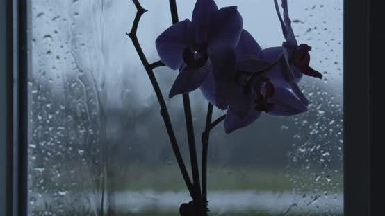 Thumbnail for Orchid Flowers Against Wet Window