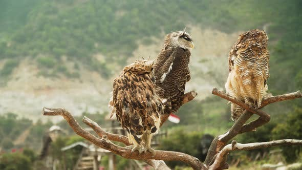 Thumbnail for Owls on the Branch