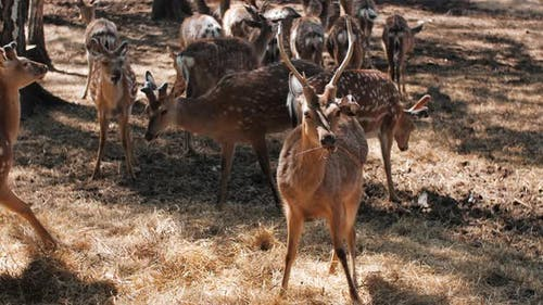 Small and Adult Spotted Deer Spend the Summer on the Farm