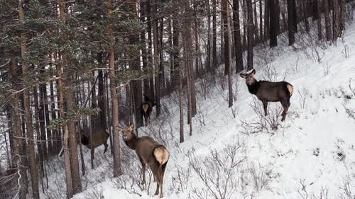 Aerial Shot of a Herd of Wild Marals in the Forest on the Mountainside in the Siberian Nature