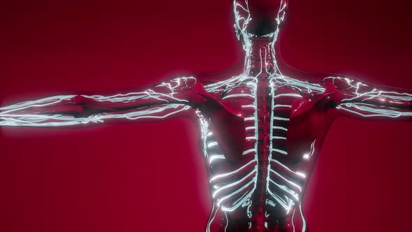 Thumbnail for Blood Vessels of Human Body