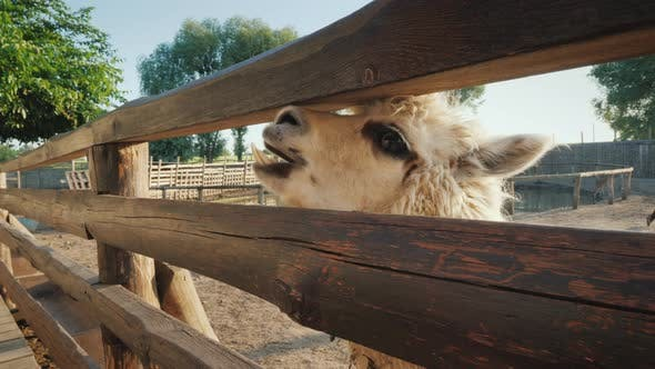 Thumbnail for Side View of The Funny Alpaca Looks Out of the Fence, Waiting for a Meal.