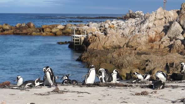 Penguins on the beach of Betty's Bay in South Africa