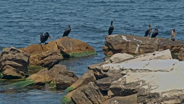 Thumbnail for Cormorant Phalacrocorax Pelagicus