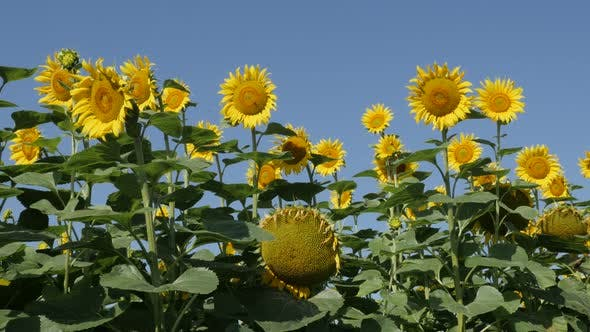 Thumbnail for Beautiful contrast of blue sky and yellow sunflower Helianthus annuus heads 4K footage