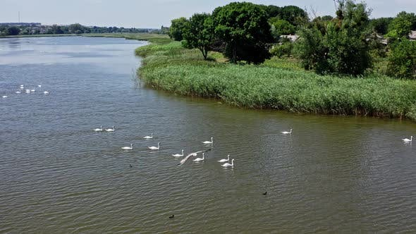 Flock of swans on water
