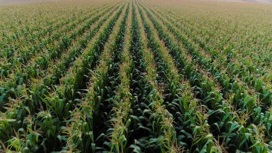 Thumbnail for Agriculture Aerial Shot of Corn Field