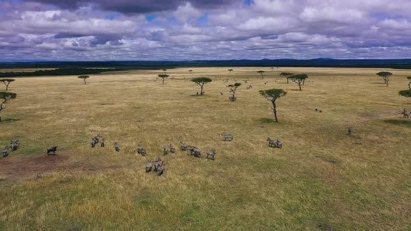 Zebras In Natural Habitat - South Africa