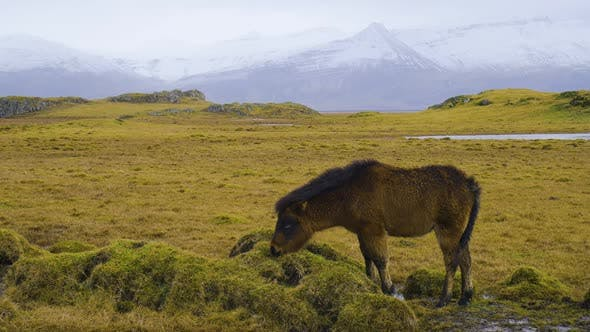 Thumbnail for Horse in Mountaine, Wild beautiful Horse in the Icelandic countryside.