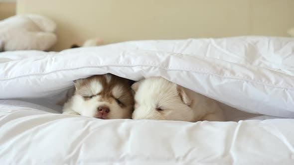Siberian Husky Puppies Sleeping On White Bed Under White Blanket