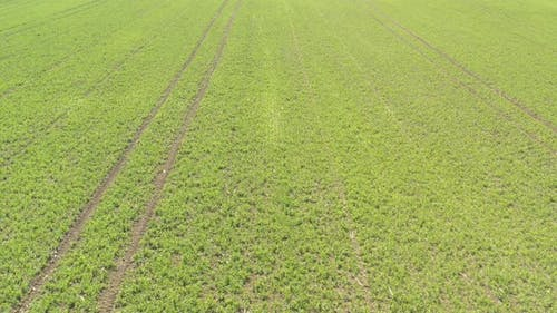 Crop of peas with tractor tire marks 4K drone video