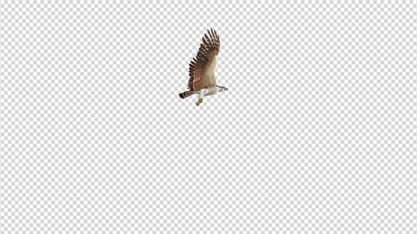 Thumbnail for American Kestrel - Flying Around - Transparent Loop