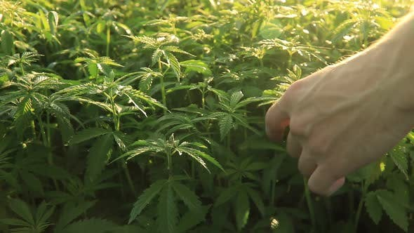 Thumbnail for Man Collects Green Leaves of Marijuana. Video with Original Sound