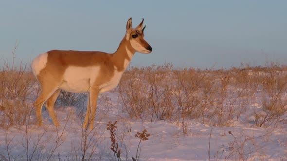 Thumbnail for Pronghorn Antelope Doe Female Adult in Winter Dawn Morning in South Dakota