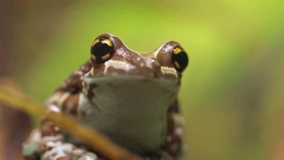 Mission Goldeneyed Tree Frog or Amazon Milk Frog Trachycephalus Resinifictrix