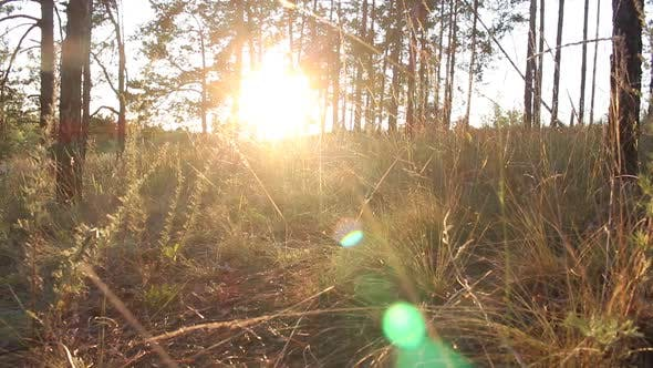 Thumbnail for Evening Forest At Sunset