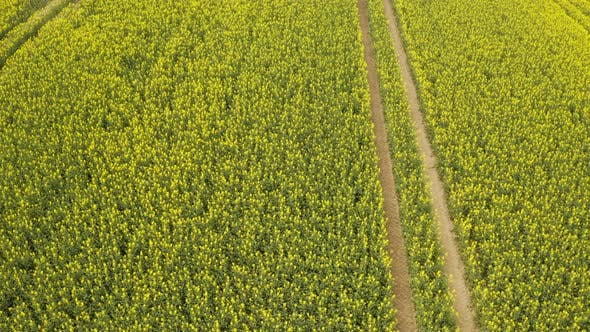 Thumbnail for Oilseed Plantation with Flowers Swaying with Wind