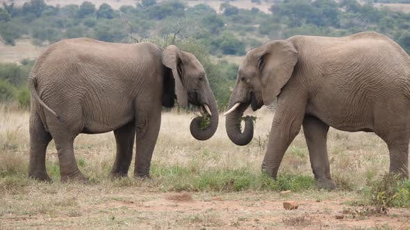 Thumbnail for Two african elephants eating grass