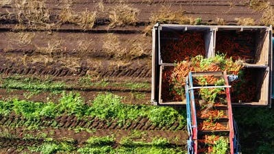 Carrot Harvest in Russia
