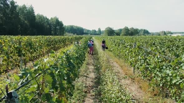 People Picking Grape During Harvest Season.