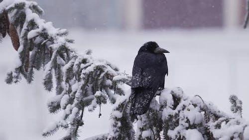 Corbeau noir assis sur un arbre enneigé