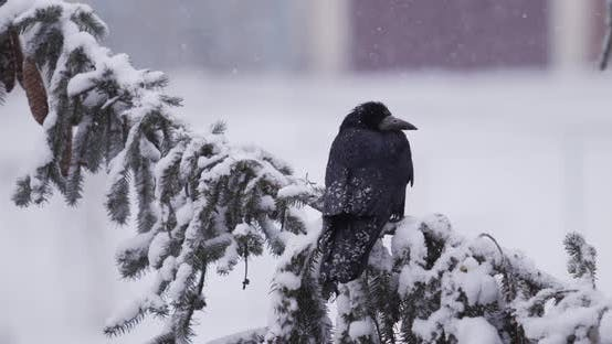 Black Crow Sitting On A Snowy Tree