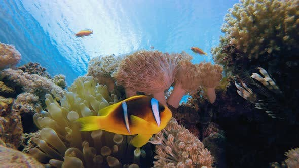 Thumbnail for Underwater Tropical Sea Clownfish